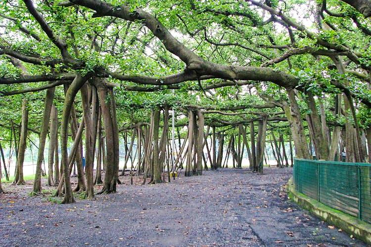 banyan-tree of Botanical garden