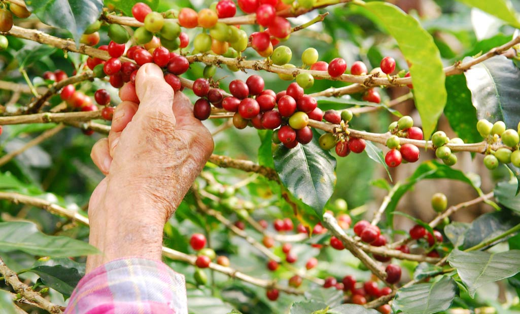 coorg-coffee-plantations